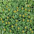 zolla prevegetata di Lantana camara gialla