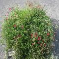 Zolla di Dianthus deltoides